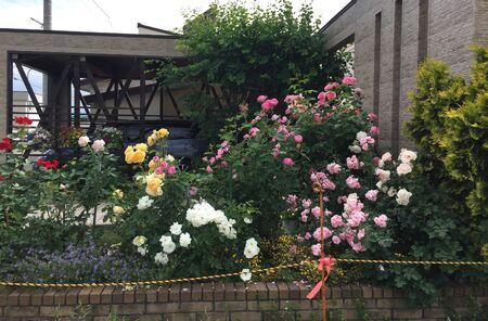 Beautiful roses growing near the rural house in Furano, Hokkaido, Japan.