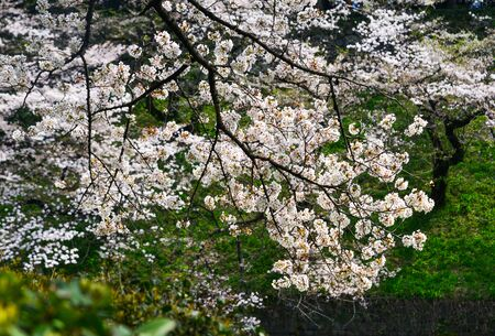 Cherry blossom in Tokyo, Japan. Hanami (cherry blossom) is a cultural symbol of Japan, one of the events to attract tourists.