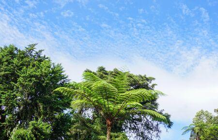 Beautiful big mammut fern trees in the tropical rain forest. Stockfoto
