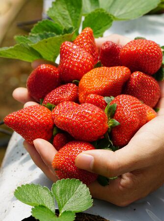 Strawberry fruits at the greenhouse on Cameron Highlands, Malaysia.