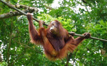 Orangutan monkey playing on the tree at public park in sunny day. Stock Photo