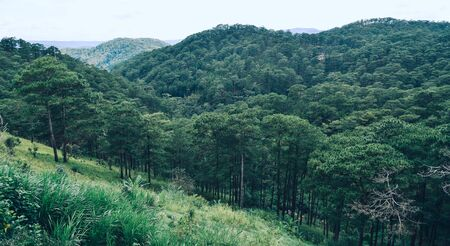 Green pine tree forest at sunny day in Dalat, Vietnam.