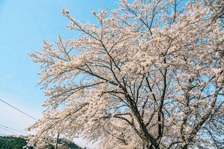 Cherry blossom at riverbank park of Shiroishi River in Miyagi, Japan. Hanami (cherry blossom) is a cultural symbol of Japan, one of the events to attract tourists.