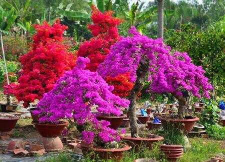Bougainvillaea flowers blooming at the garden in Mekong Delta, Vietnam.