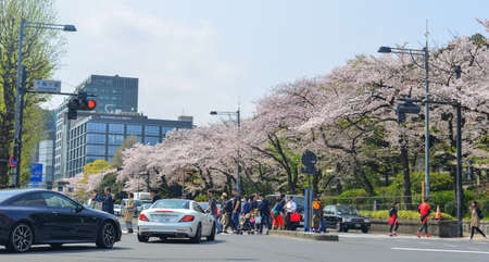 Tokyo, Japan - Apr 7, 2019. Street of Tokyo during cherry blossom festival. The Japanese cherry blossom, or sakura, has long been adored by people across the globe.