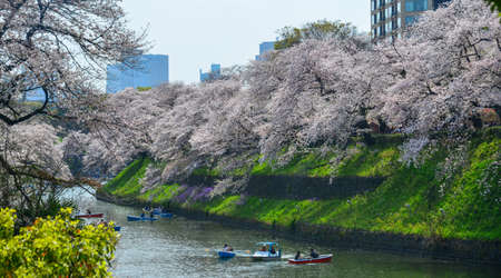 Tokyo, Japan - Apr 7, 2019. Cherry blossom in Tokyo, Japan. Hanami (cherry blossom) is a cultural symbol of Japan, one of the events to attract tourists.