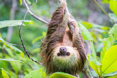 De Luiaard die van jonge Hoffmann van boom hangt en camera onderzoekt
