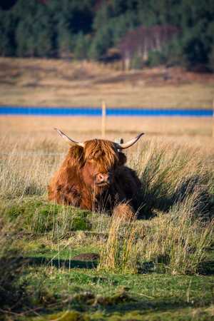 Highland cattle in Scottish countryside