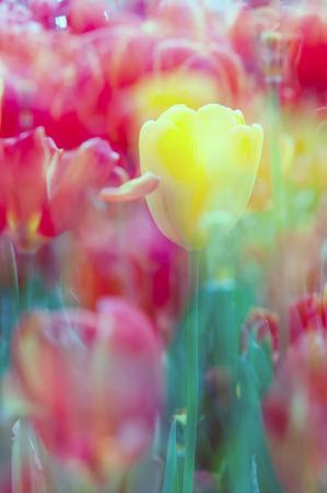 coloful: coloful tulips