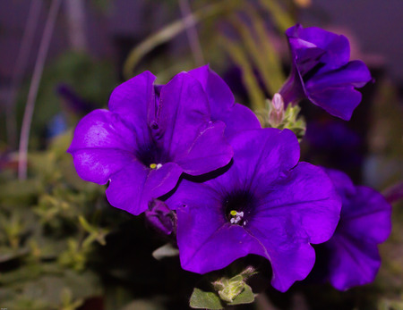 dicot: Purple Butterfly Pea
