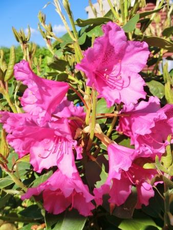 in full bloom: full bloom Stock Photo