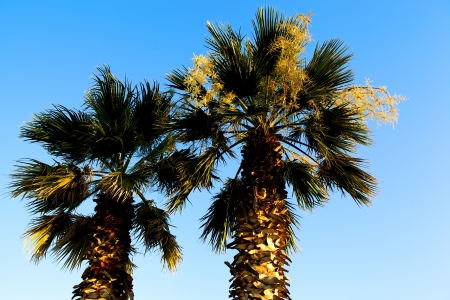 Crowns of two palm trees with their fronds outlined against a clear blue sky symbolic of a tropical vacation