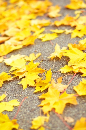 A background of yellow fallen autumn leaves across pathway. with shallow depth of field