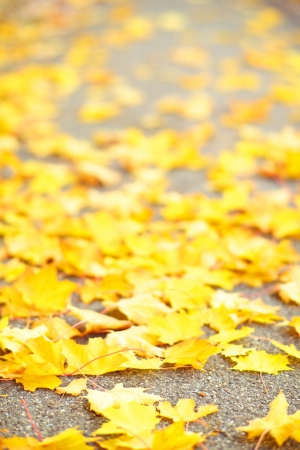 changing colors: Seasonal botanical background of vibrant yellow autumn maple leaves scattered on the ground as a reminder of the changing seasons Stock Photo