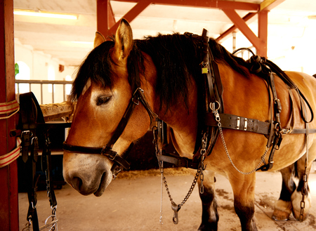 loads: Patient gentle draft horse used for pulling wagons or loads standing in a stable in its full harness Stock Photo