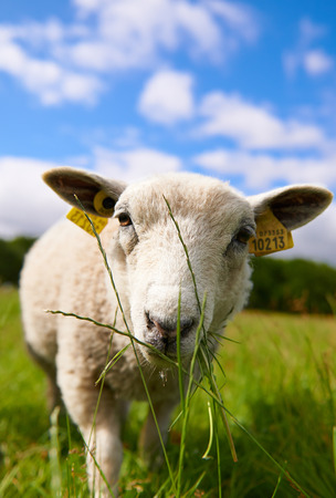 Inquisitive sheep grazing on grass approaching to have a good look at the camera in a lush green summer pasture photo