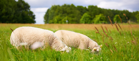 Two adult sheep grazing in a spring pasture with very long green grass so that they are half concealed