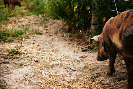 Brown spotted pig being bred for pork walking away from the camera in its outdoors sty or enclosure on a farm photo