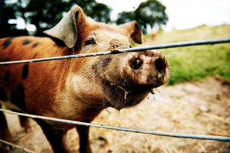 Inquisitive brown pig standing close up against wire cables with a dirty muddy snout from rooting in the soil in its field having a look at the camera Stock Photo