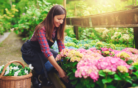 Woman selecting a pink hydrangea from amongst the stock in the greenhouse at a nursery bending down with a smile between the plants to pick up the potted plant