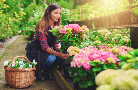Young woman at a nursery holding a potted pink hydrangea plant in her hands as she kneels in the walkway between plants with a basket of fresh white flowers for sale