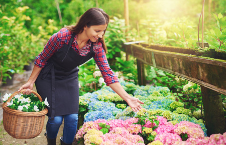 floriculture: Pretty young nursery owner pointing to the flowering pink hydrangeas potted into plastic bags as she collects fresh white flowers in a wicker basket for sale