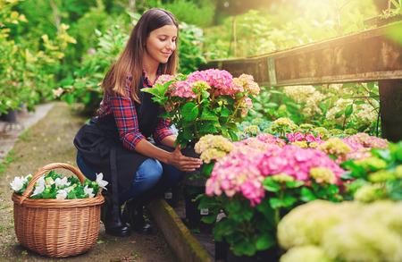 販売のため新鮮な白い花のバスケットが付いている植物間の通路に跪いて彼女と彼女の手でピンクのアジサイを鉢植え植物を保持している保育園で