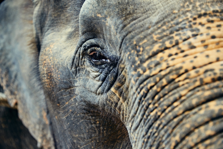 Closeup of the eye of a large Asian elephant at an animal sanctuary in Thailand Stock Photo