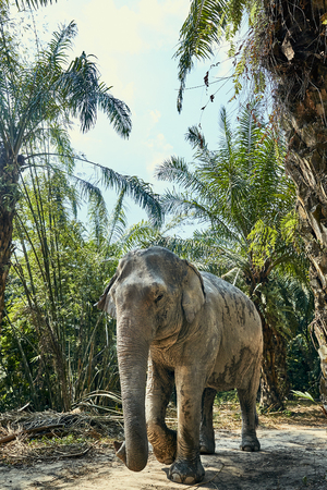 Large Asian elephant walking alone along a trail in the forest of an animal sanctuary in Thailand Stock Photo