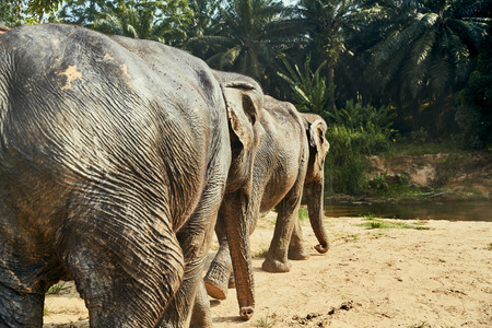 Two large Asian elephants walking together to a river in forest at an animal sanctuary in Thailand Stock Photo
