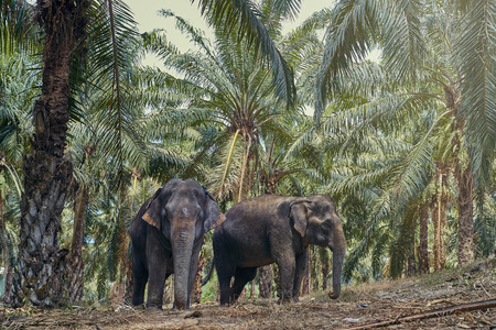 Two large Asian elephants walking together along a trail in forest at an animal sanctuary in Thailand