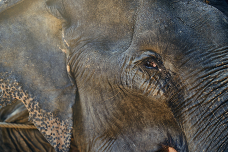 Closeup of an Asian elephant standing behind a rope at an animal sanctuary in Thailand Stock Photo