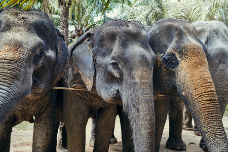 Group of Asian elephants standing together behind a rope at an animal sanctuary in Thailand