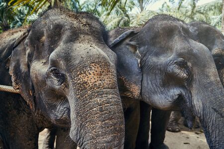 Group of Asian elephants standing together in a row behind a rope at an animal sanctuary in Thailand