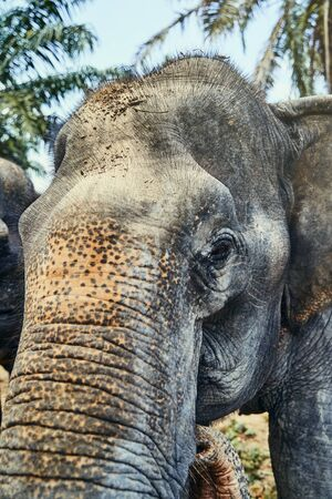 Closeup of the head and trunk of a large Asian elephant at an animal sanctuary in Thailand