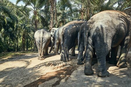 Rearview of a group of large Asian elephants walking together along a trail in forest at an animal sanctuary in Thailand