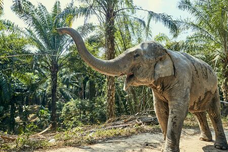 Large Asian elephant walking alone down a trail in the forest of an animal sanctuary in Thailand