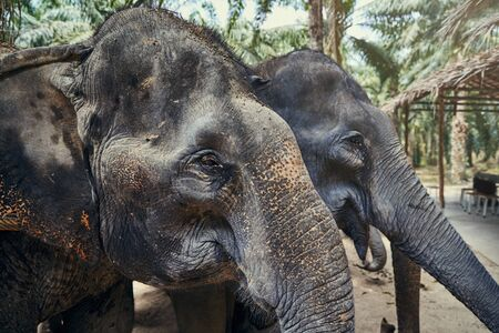 Group of Asian elephants standing together in a clearing at an animal sanctuary in Thailand
