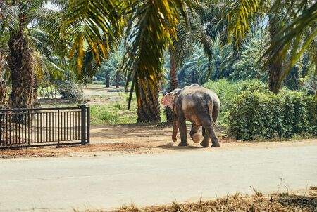 Lone Asian elephant walking across a dirt road to a gate at an animal sanctuary in Thailand