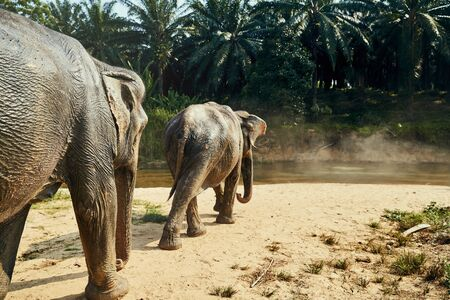 Two large Asian elephants walking together toward a river in the jungle at an animal sanctuary in Thailand Stock Photo