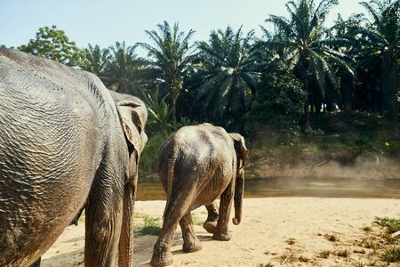 Two large Asian elephants walking to a river in the jungle at an animal sanctuary in Thailand