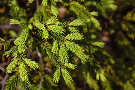 Fir buds, Young Green Fir Tree Branches. Dew drops on spruce tree branch. Seasons - spring. Natural background for design. Stock Photo