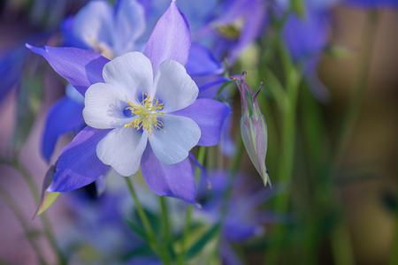 Blooming Columbine flower and Bud, closeup. One beautiful bluish - purple flower Aquilegia laramensis (America)