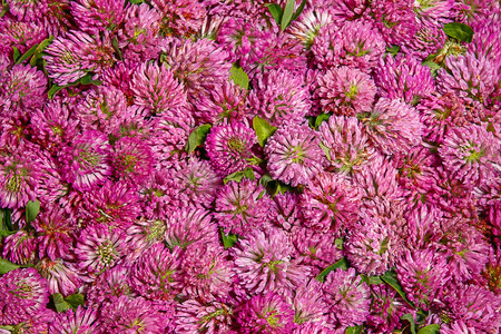 レッド クローバーの花から単色の背景。スタジオで撮影。花房トリフォリウム ・ ルーベンスは既に乾燥のために準備。