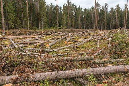 Is deforestation. Carvel pines lie on the plot. Timber harvesting in the coniferous forest. Stockfoto