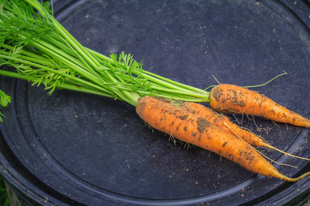 dug: Three carrots lying on a black background. Carrots freshly picked.