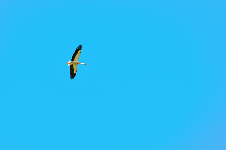 Stork hovering in the blue sky.