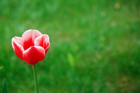 Single Tulip on a green blurred background. Stock Photo