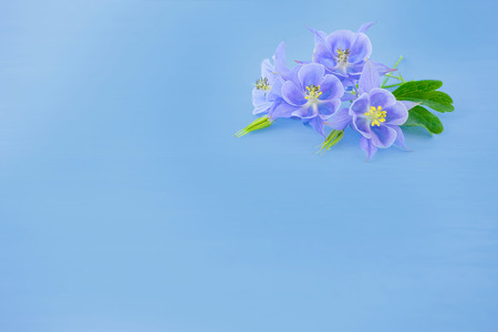 The flowers of Aquilegia on light blue background. Four purple flowers on a pure blue background. Suitable for any design, plenty of space for text.