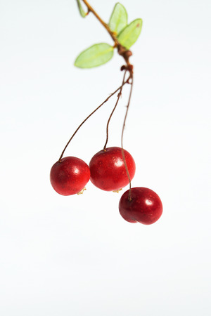 Three berries of a cowberry on a twig with leaves on a white background.  Studio, macro.